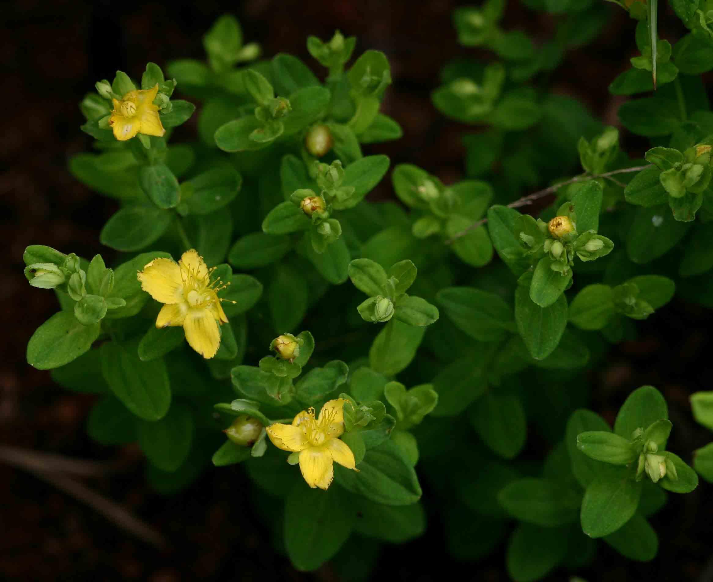Hypericum peplidifolium