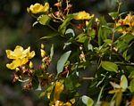 Hypericum roeperianum