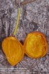 Garcinia livingstonei
