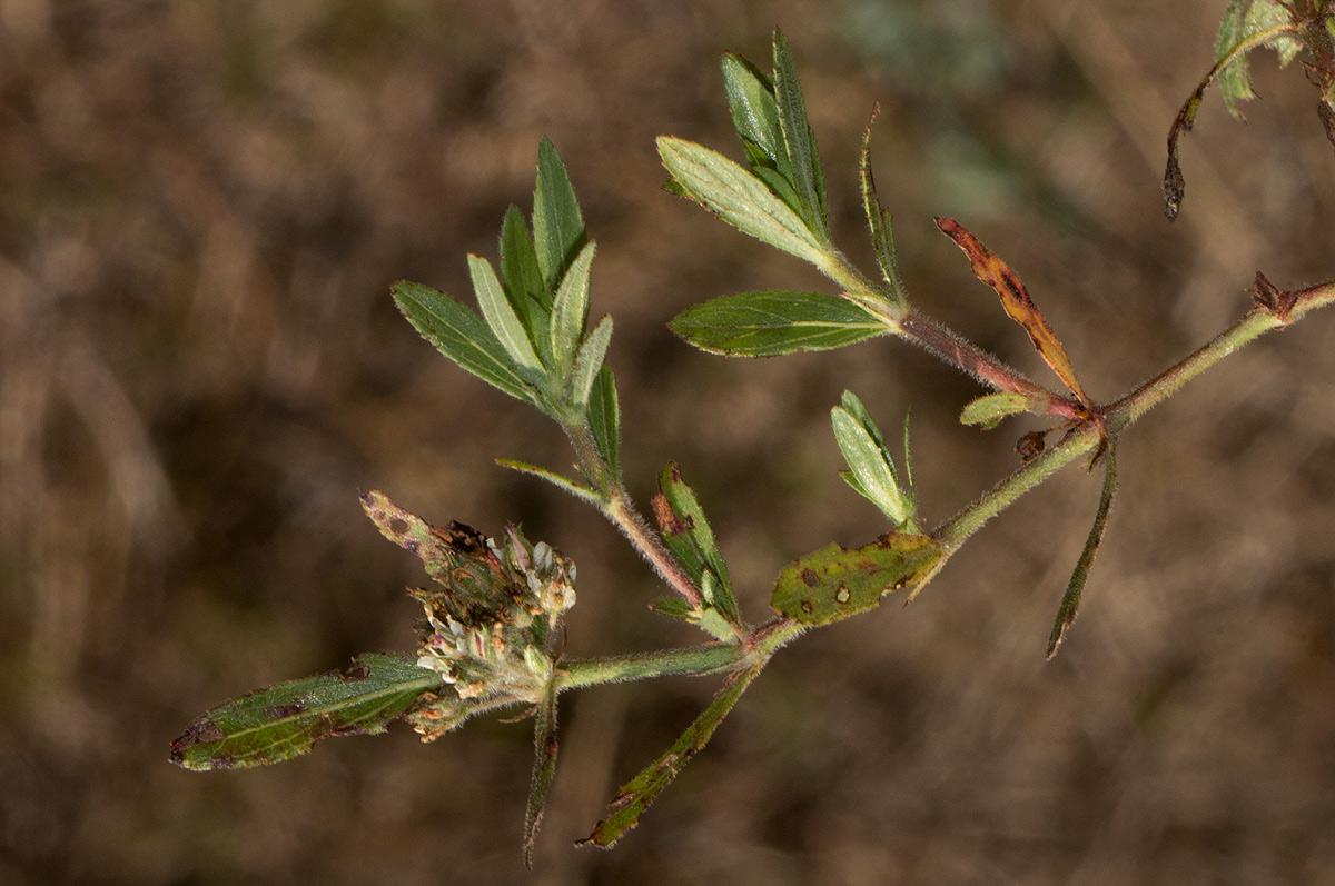 Bergia decumbens