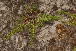 Bergia pentheriana