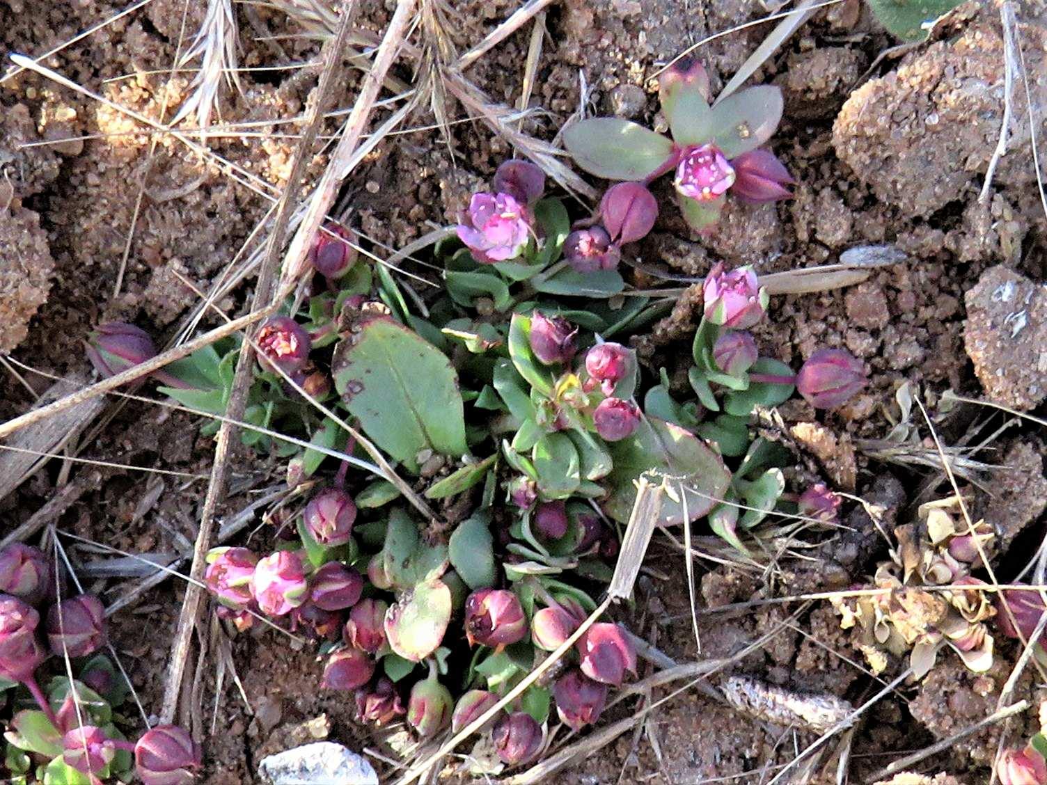 Bergia polyantha