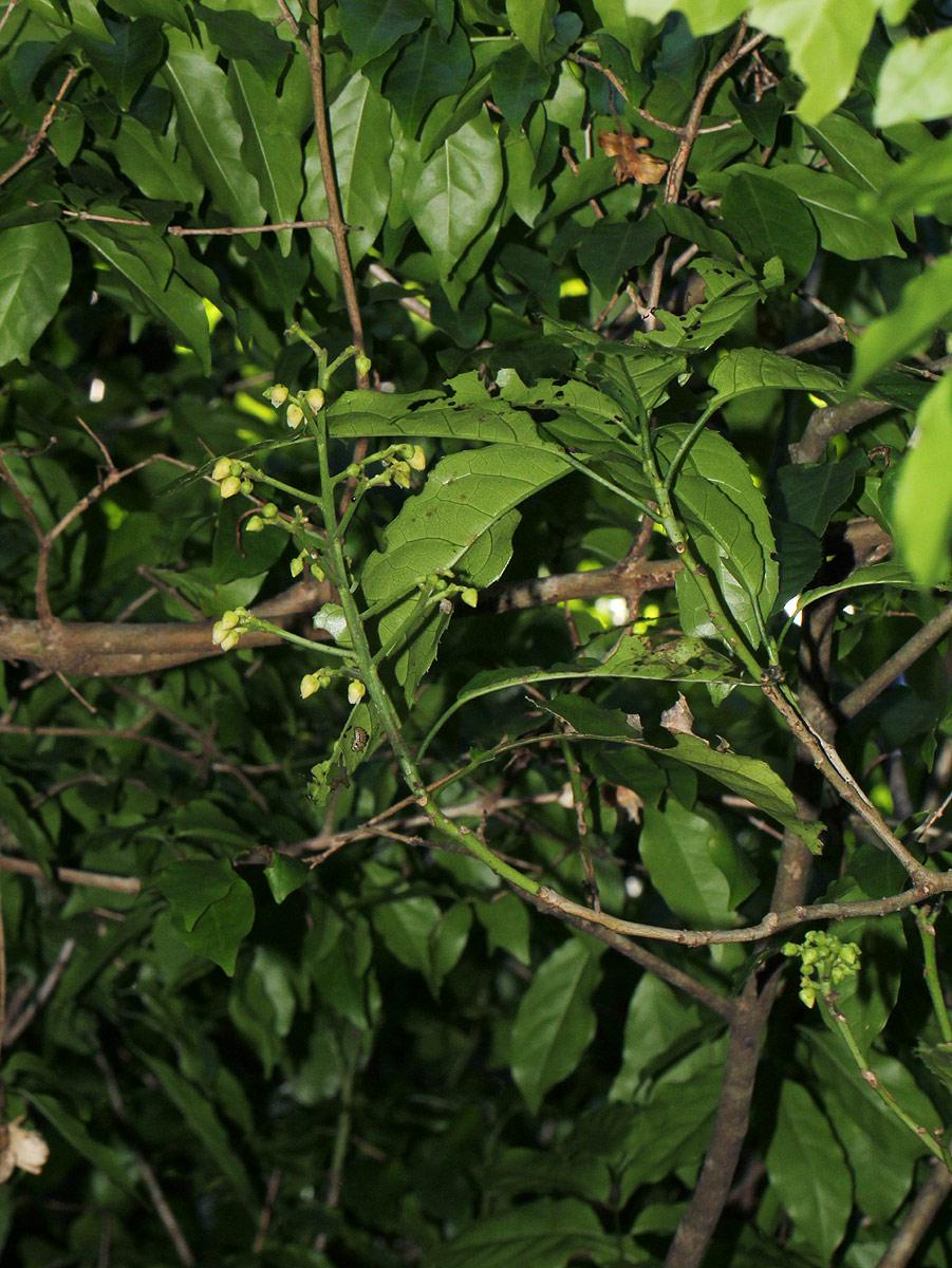Rinorea arborea