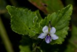 Viola abyssinica