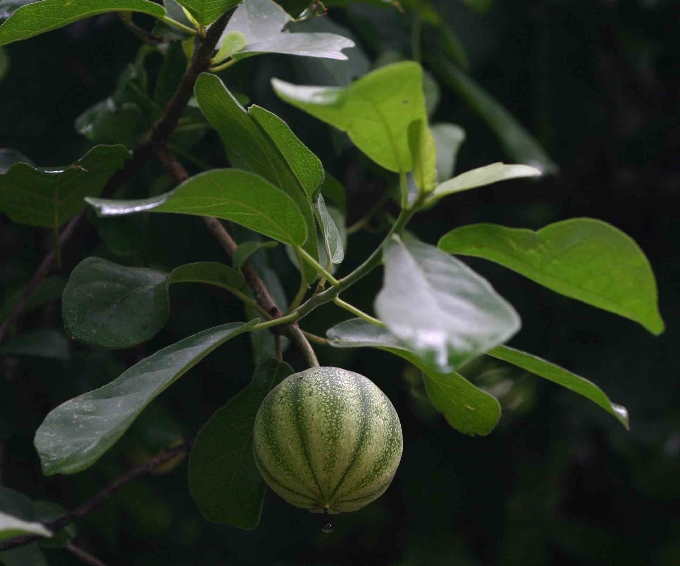Xylotheca tettensis var. macrophylla