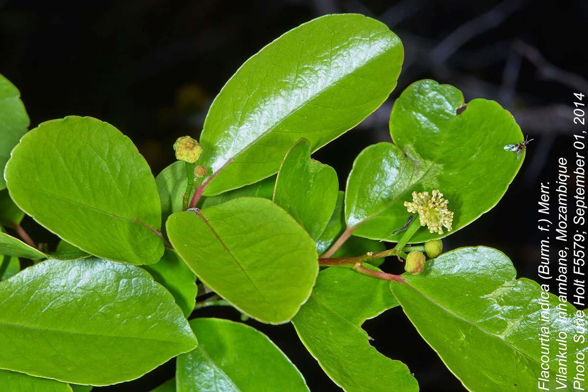 Flacourtia indica