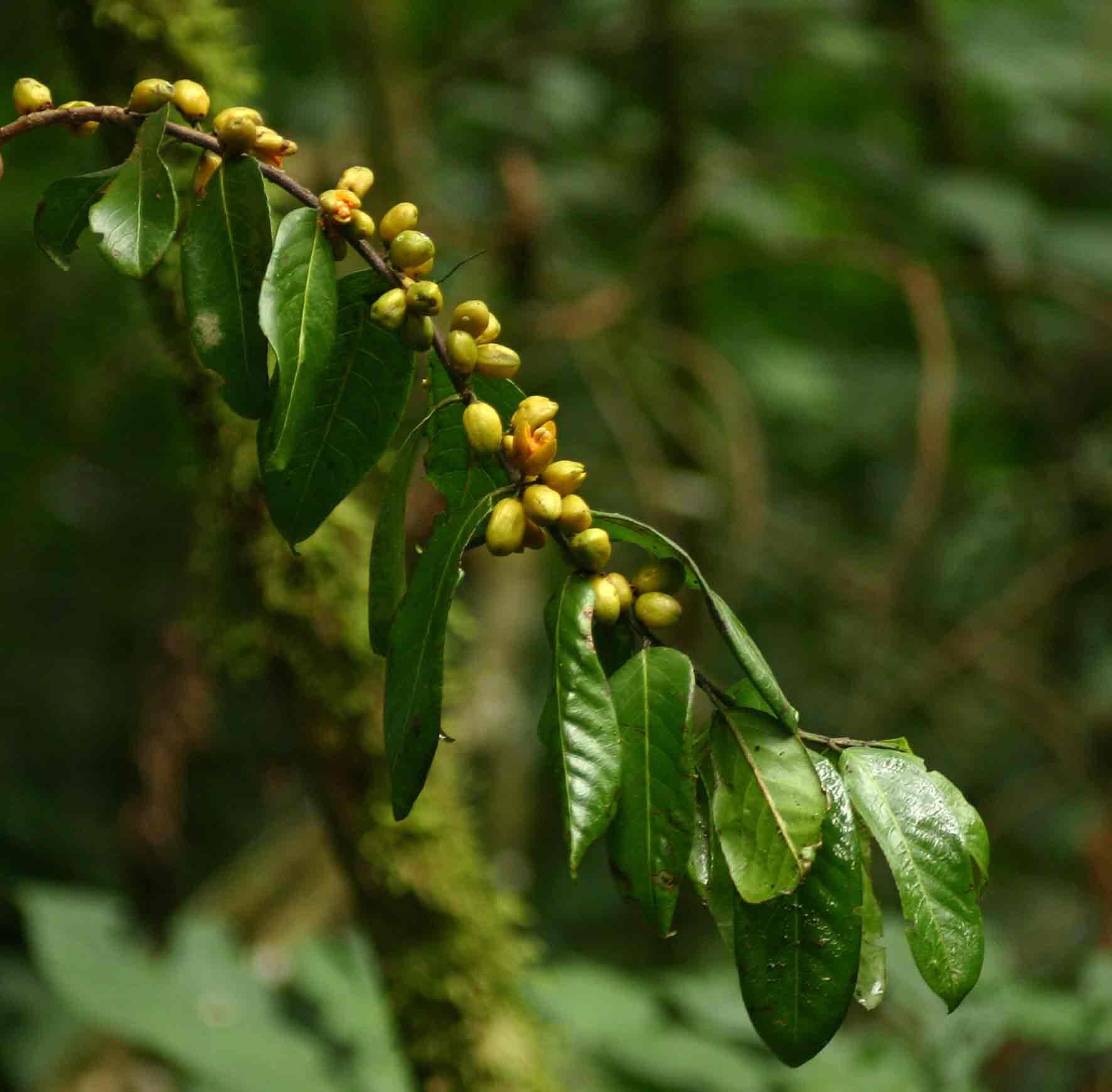 Casearia battiscombei
