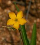 Tricliceras glanduliferum