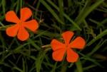 Tricliceras longepedunculatum var. longepedunculatum