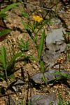 Streptopetalum serratum