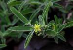 Piriqueta capensis