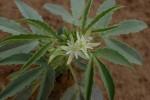 Basananthe heterophylla