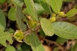 Paropsia brazzeana