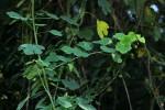 Adenia gummifera var. gummifera