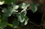 Adenia fruticosa subsp. simplicifolia