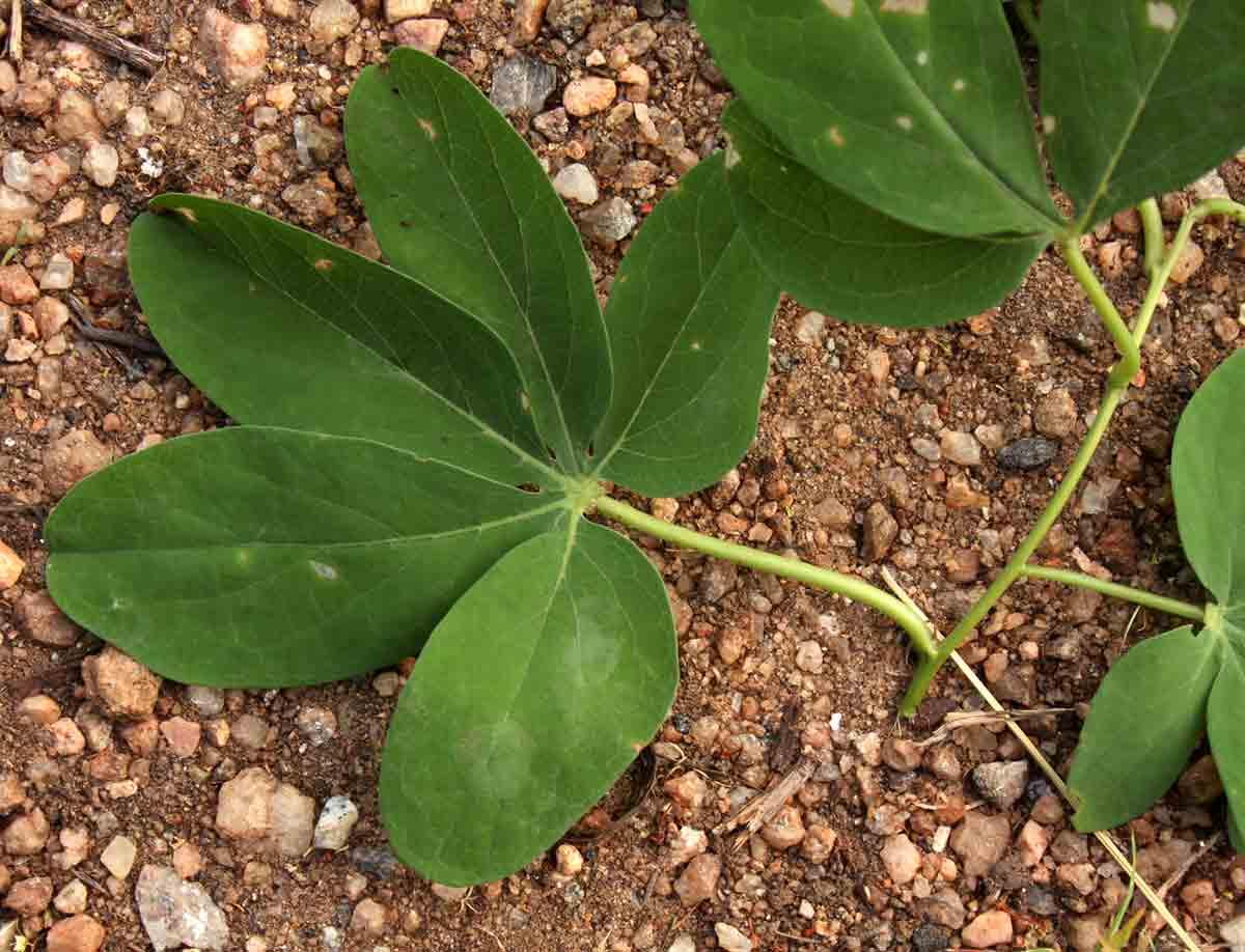 Adenia karibaensis