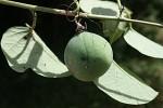 Adenia panduriformis