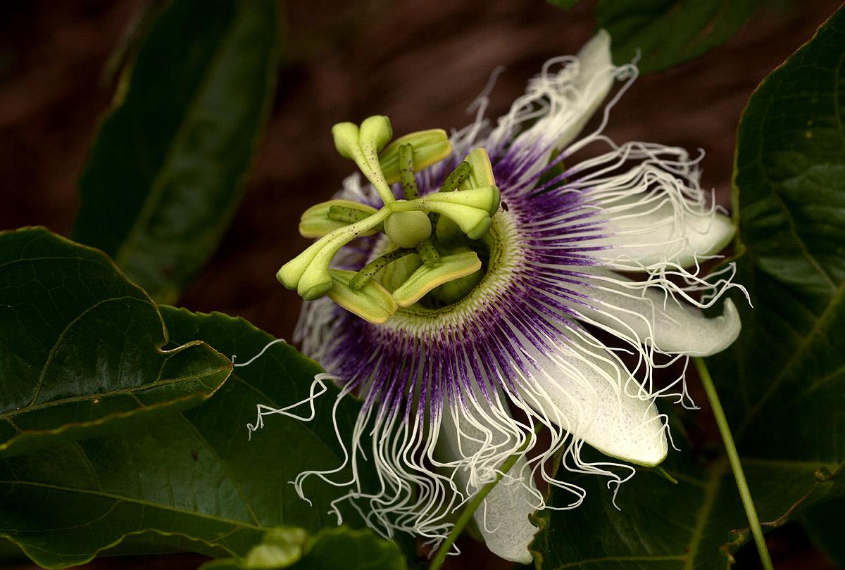 Passiflora Edulis Habitat Passiflora Edulis
