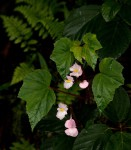 Begonia sonderiana