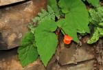 Begonia sutherlandii subsp. latior