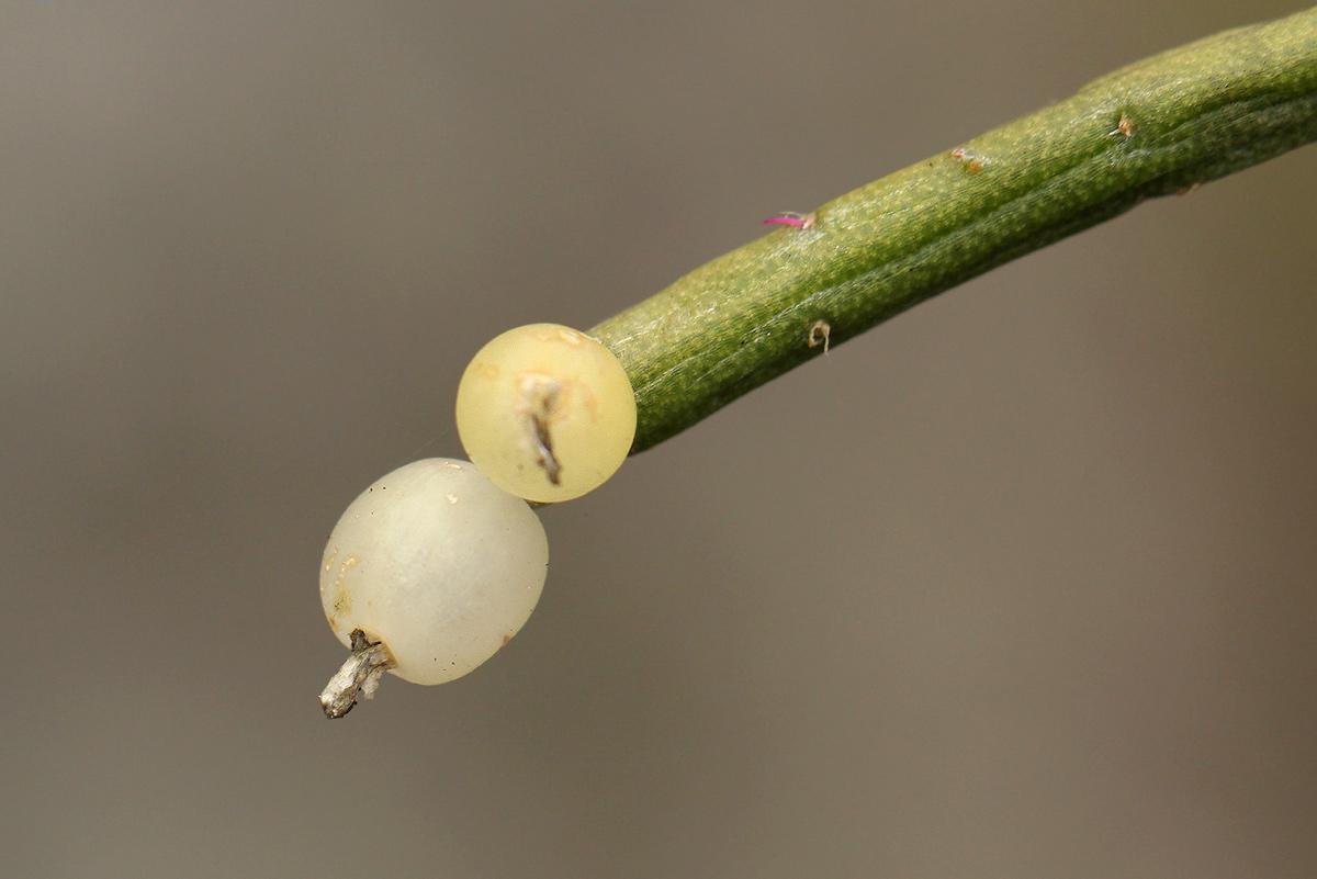 Rhipsalis baccifera