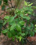 Synaptolepis alternifolia