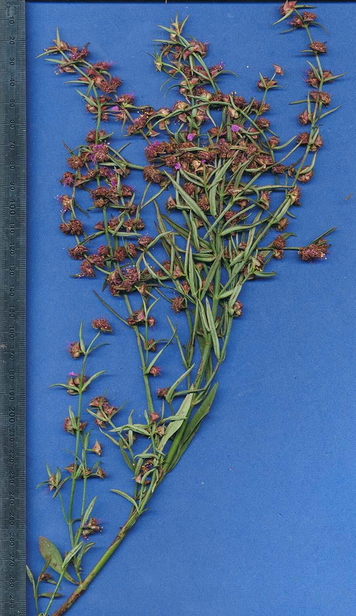 Nesaea erecta