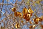 Combretum celastroides subsp. celastroides