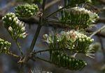 Combretum mossambicense