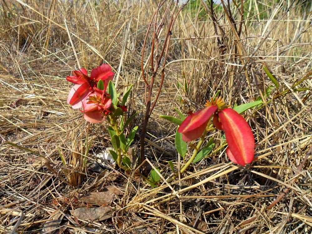 Combretum platypetalum subsp. oatesii