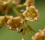 Meiostemon tetrandrus subsp. australis