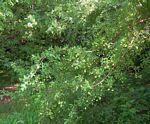 Pteleopsis anisoptera