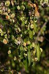 Pteleopsis myrtifolia