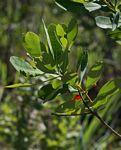 Terminalia brachystemma subsp. brachystemma