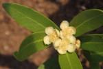 Eugenia malangensis