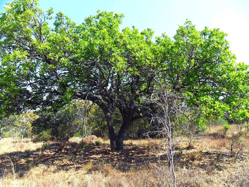 Syzygium guineense subsp. guineense