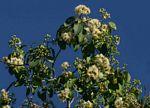 Syzygium guineense subsp. barotsense