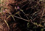 Antherotoma senegambiensis var. senegambiensis