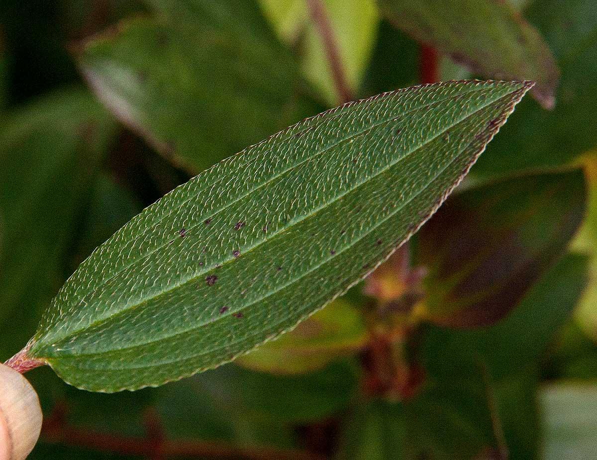 Dissotis swynnertonii