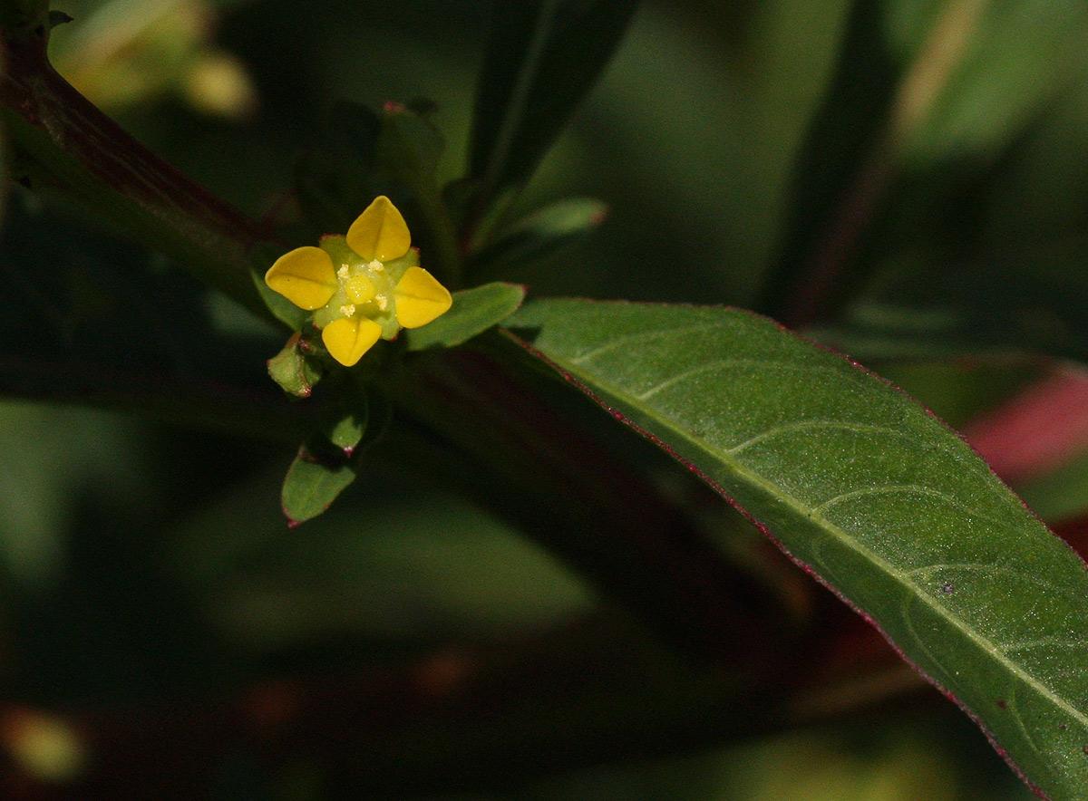 Ludwigia abyssinica