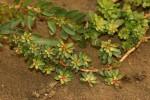 Ludwigia adscendens subsp. diffusa