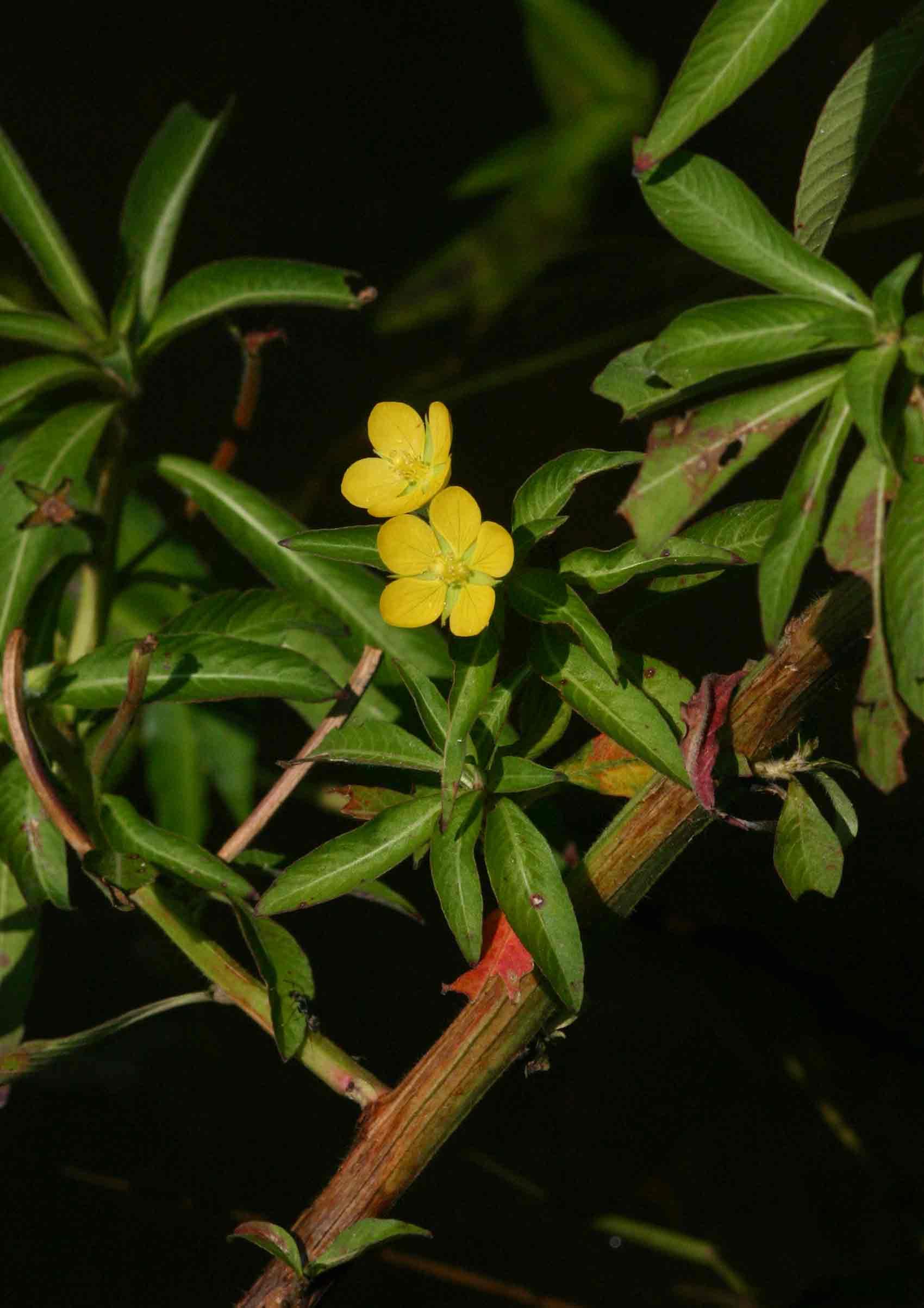 Ludwigia leptocarpa