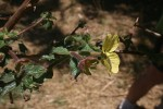 Ludwigia octovalvis subsp. sessiliflora