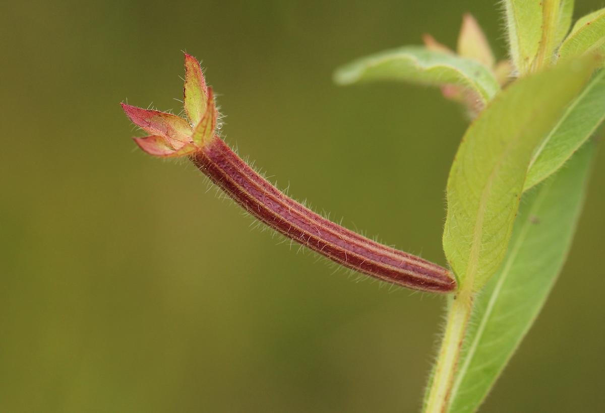Ludwigia octovalvis subsp. brevisepala