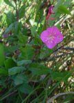 Oenothera rosea