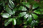 Schefflera goetzenii