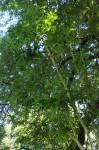 Cussonia arborea