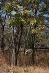 Cussonia natalensis