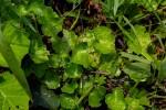 Hydrocotyle mannii
