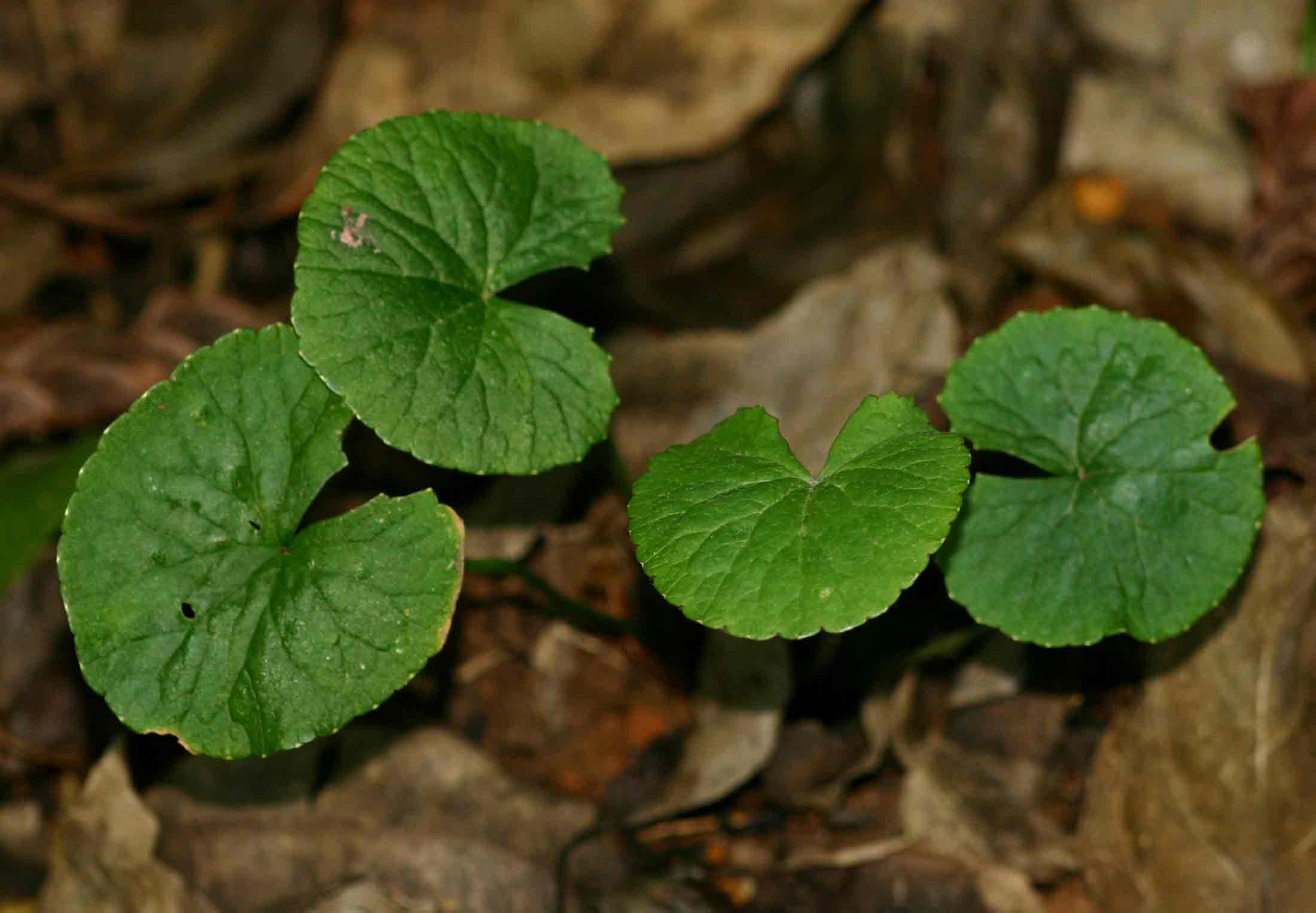 Centella asiatica выращивание 60